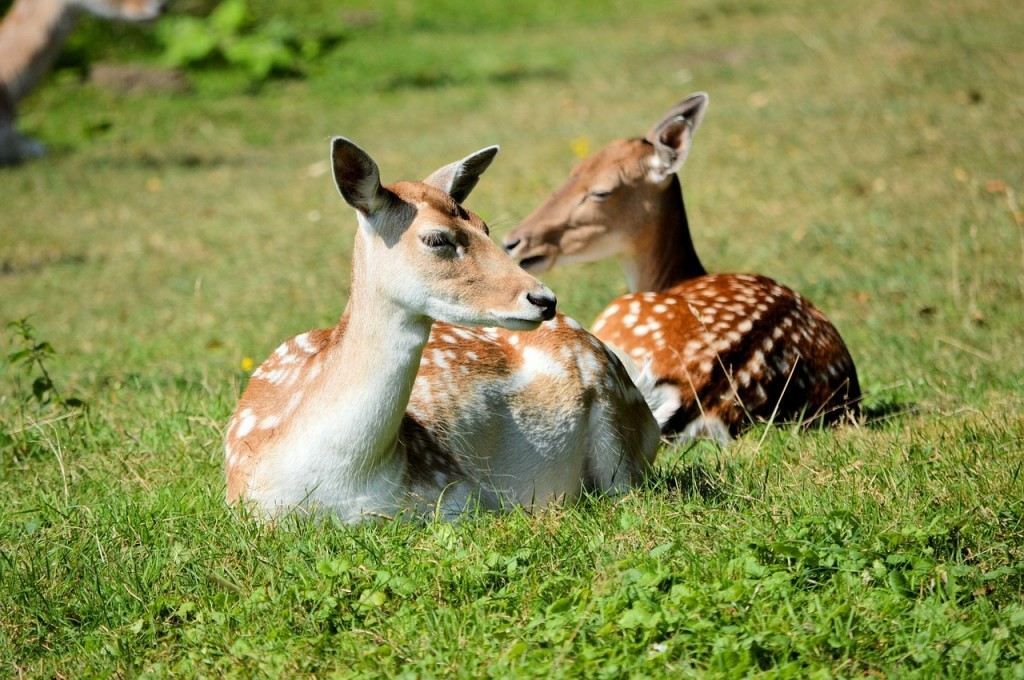 Deer Fawns in grass